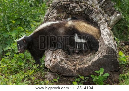Striped Skunk (mephitis Mephitis) With Two Kits Under Tail