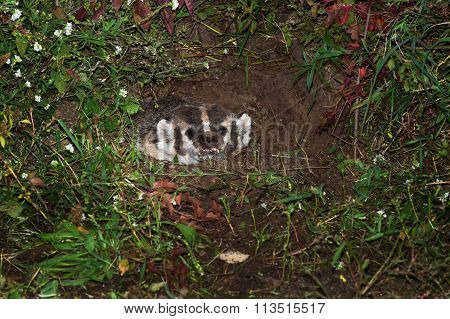 North American Badger (taxidea Taxus) Snarls In Den