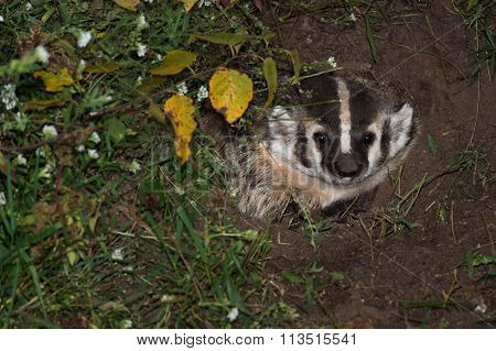 North American Badger (taxidea Taxus) Looks Out From Den