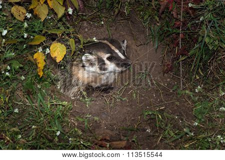 North American Badger (taxidea Taxus) Looks Right From Inside Den