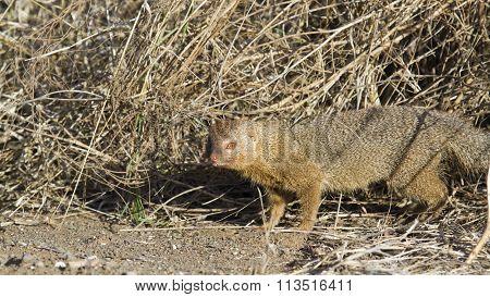Slender Mongoose In Kruger National Park