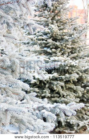 blue and green spruce in frost