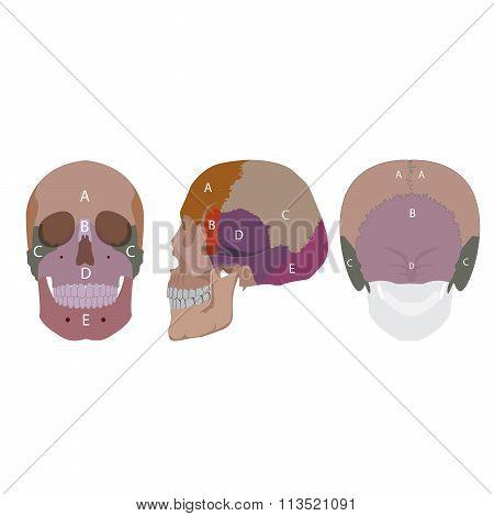 bones of skull