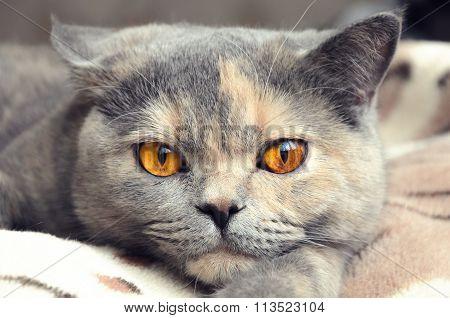 Portrait Of British Shorthair Cat Closeup