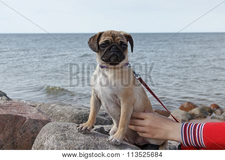 Pug by the sea
