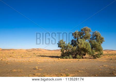 tree in the Sahara desert
