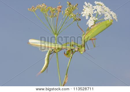 Female Of Praying Mantis Eating Male After Mating