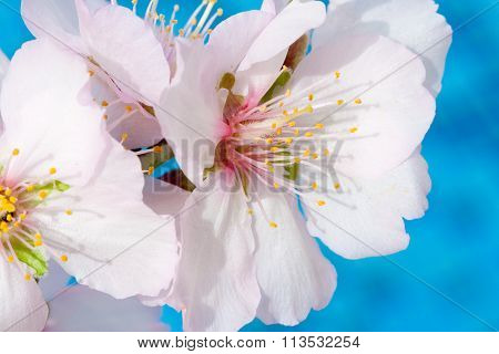 Almond Tree Pink-white Blossoms. Almond Trees In The Island Of Cyprus Blossom In February.