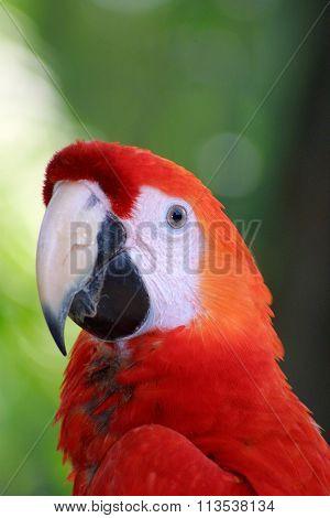 Ara Macaw Parrot