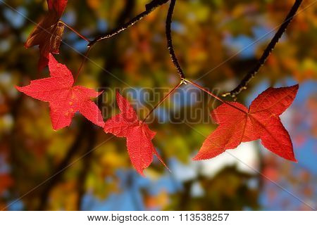 Backlit Glowing Red Maple Leaves