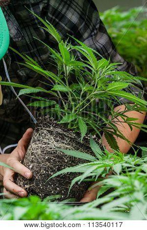 farmer inspecting his marijuana plant