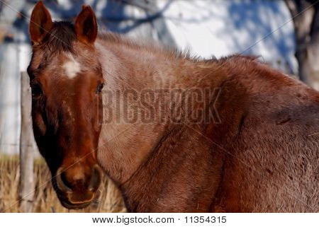 Brown Horse Watching