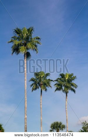 Palmtrees Over Blue Sky