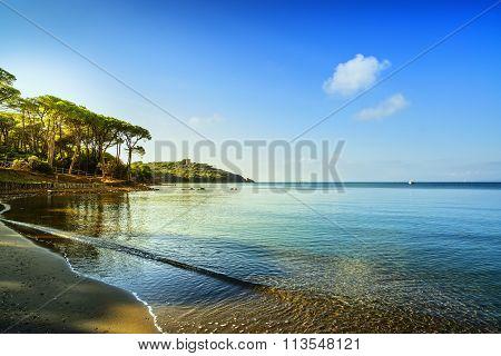 Punta Ala, Pine Tree Group, Beach And Sea Bay. Tuscany, Italy