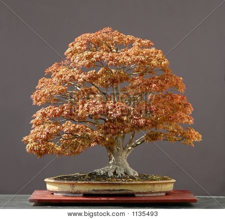 Japanese Maple Bonsai In Spring