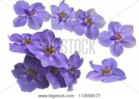 Thunbergia Grandiflora Flower