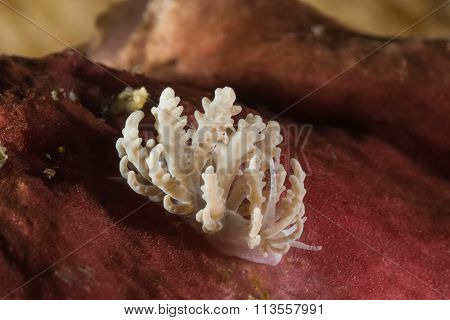 Phyllodesmium Crypticum, Nudibranch, Sea Slug