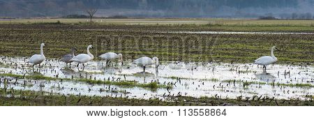 Trumpeter Swans (cygnus Buccinator) Over Wintering On Farmland In The Comox Valley