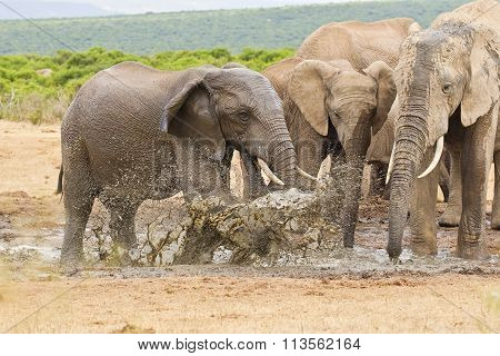African Elephants Standing And Splashing Water In A Water Hole