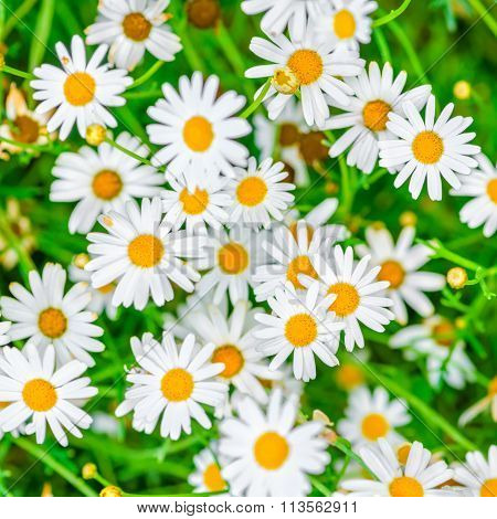 Top Down Beautiful Field Of Green Grass And Camomiles As Background In The Nature, Closeup