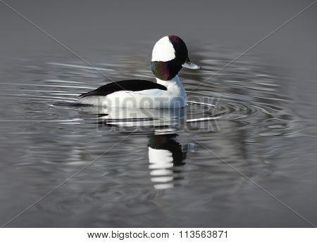 Male Bufflehead Duck (Bucephala Albeola)