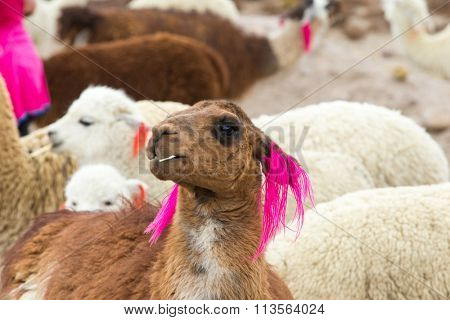 lamas in Andes,Mountains, Peru