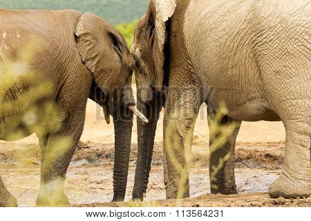 Two African Elephants Standing At A Waterhole