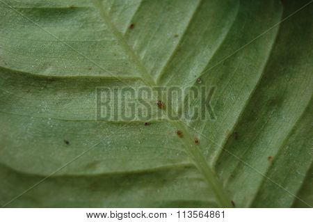 scale insects on a leaf