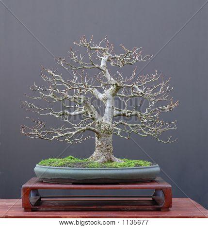 Linden Bonsai In Winter