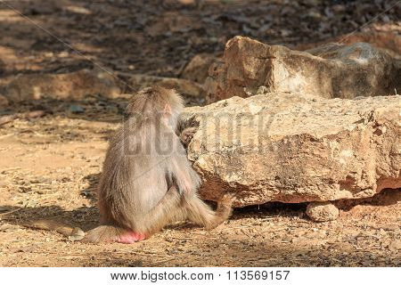 The Female Baboon