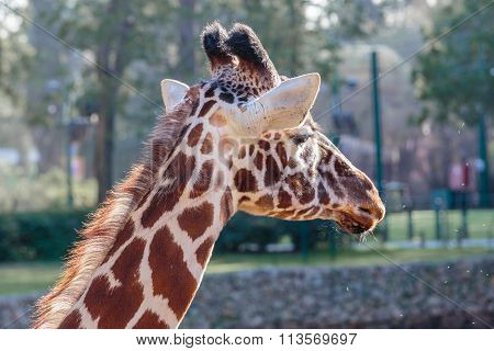 Portrait Of Beautiful Giraffe