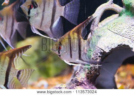Aquarium Fish Scalare