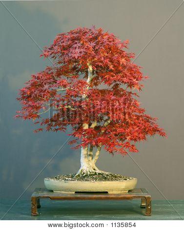 Japanese Maple Bonsai, Red