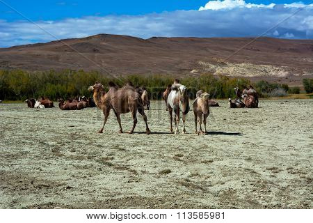 Camel Herd In The Steppe