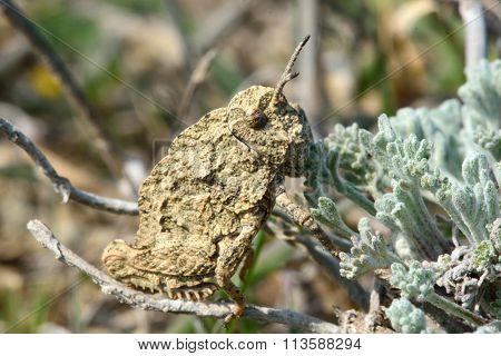 Cryptic grasshopper on low vegetation on Azerbaijani hills