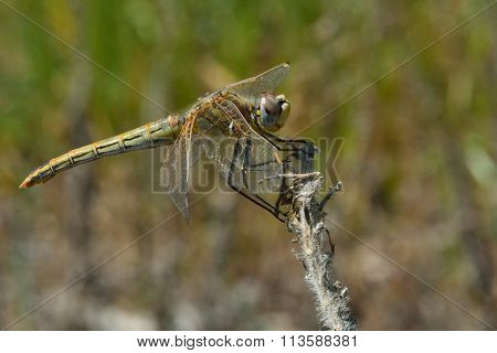 Red-veined darter (Sympetrum fonscolombii) in profile