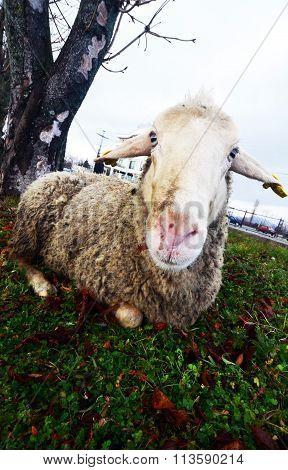 Sheep Laying Down