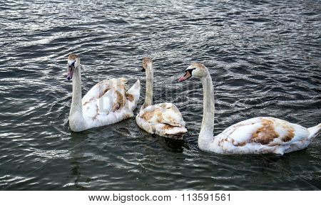 White Brown Swans On Lake Ohrid, Macedonia