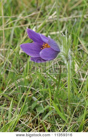 Pasque Flower - Pulsatillla vulgaris