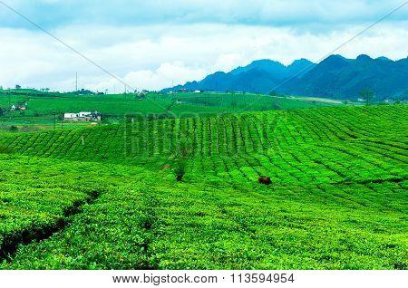 Beauty fresh green tea in Mochau Highland, Vietnam
