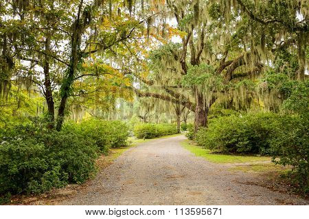 Road With Trees Overhanging With Spanish Moss In Southern Usa.