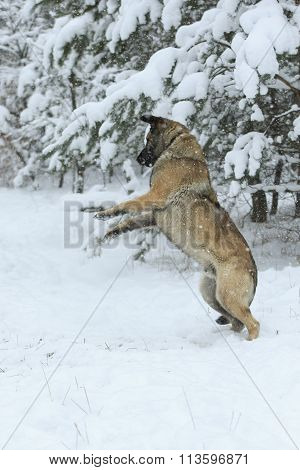 Dog Plays At Winter Forest