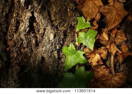 Ivy Branches On Tree Trunk