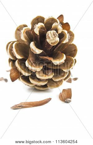Pine tree cone and its seeds