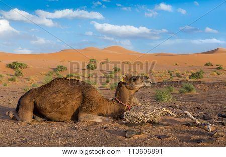 Camel on background of dunes, Sahara desert