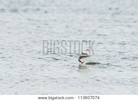Common Tern Snaring A Fish