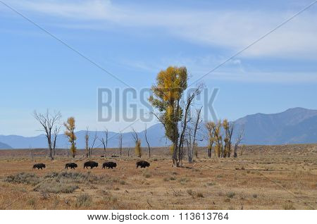 Buffalo with trees
