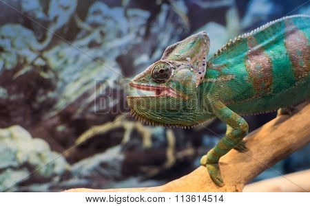 Chameleon In Captivity On A Branch Staring