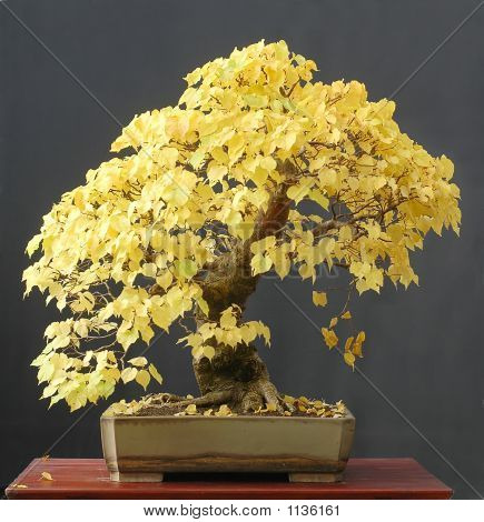 Linden Bonsai In Fall Color