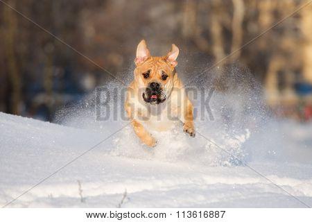 ca de bou dog outdoors in winter